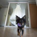 suns kāzās, kāzu kleita